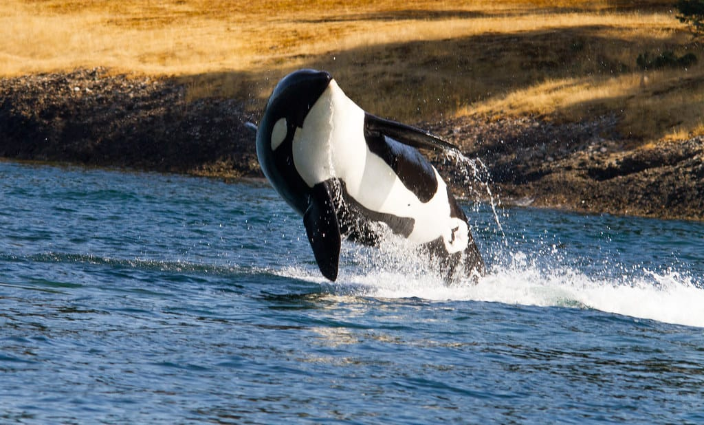 How big is an Orca Killer Whale?