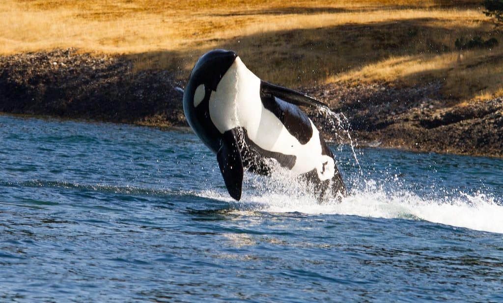 How big is an Orca Killer Whale?