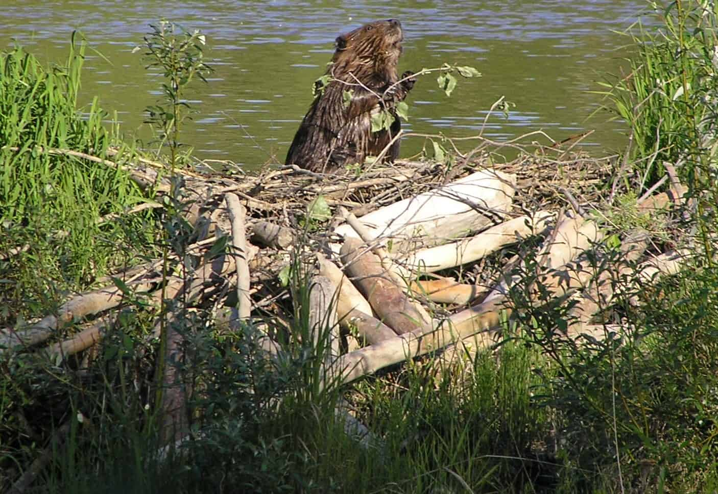 How does a Beaver build a dam?