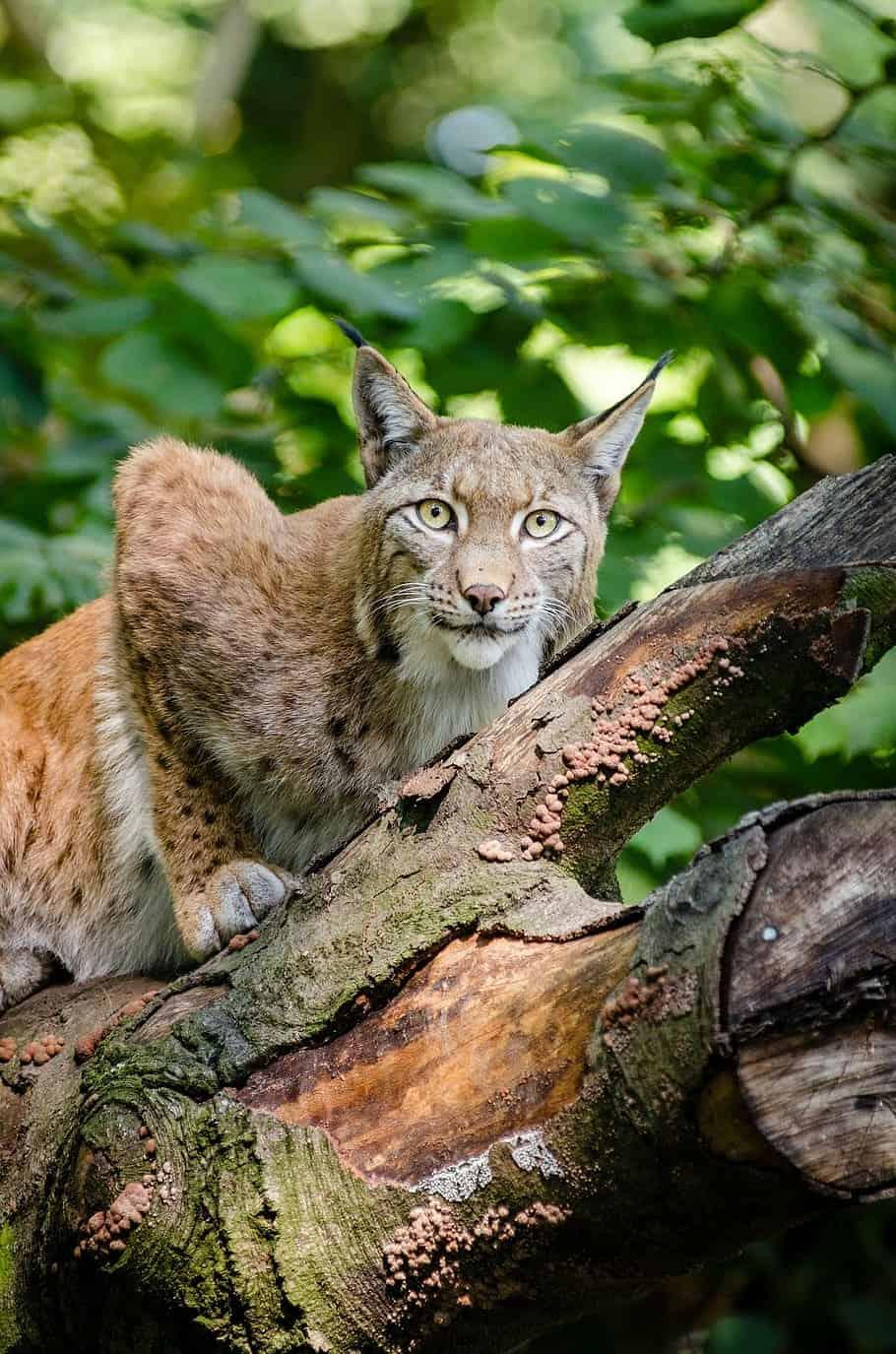 How does a Bobcat hunt?