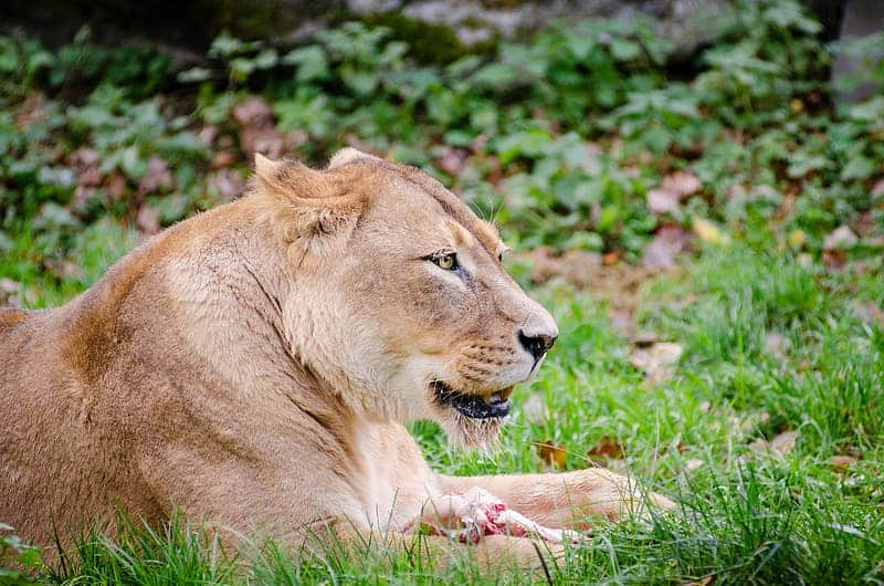 How long can an African Lion live?