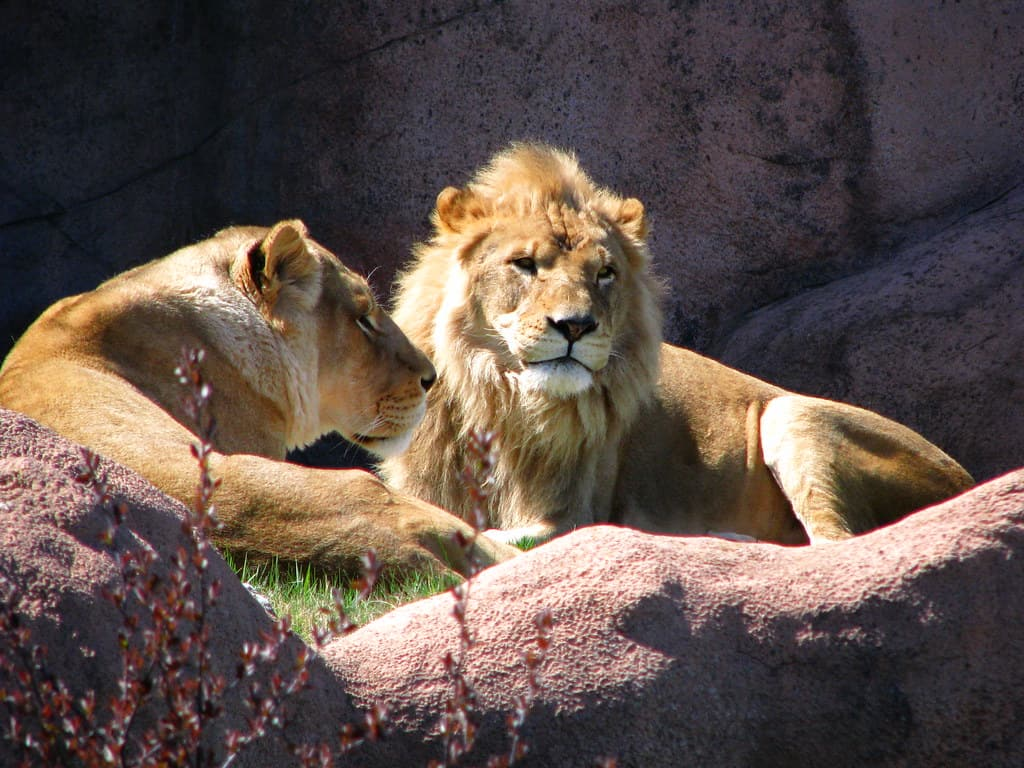 Do Lions live in groups?