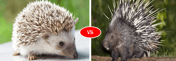 Porcupine vs HedgeHog