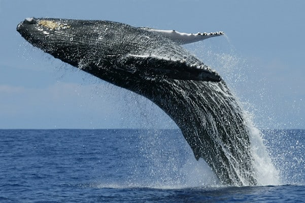 What animal is the predator of the Blue Whale?