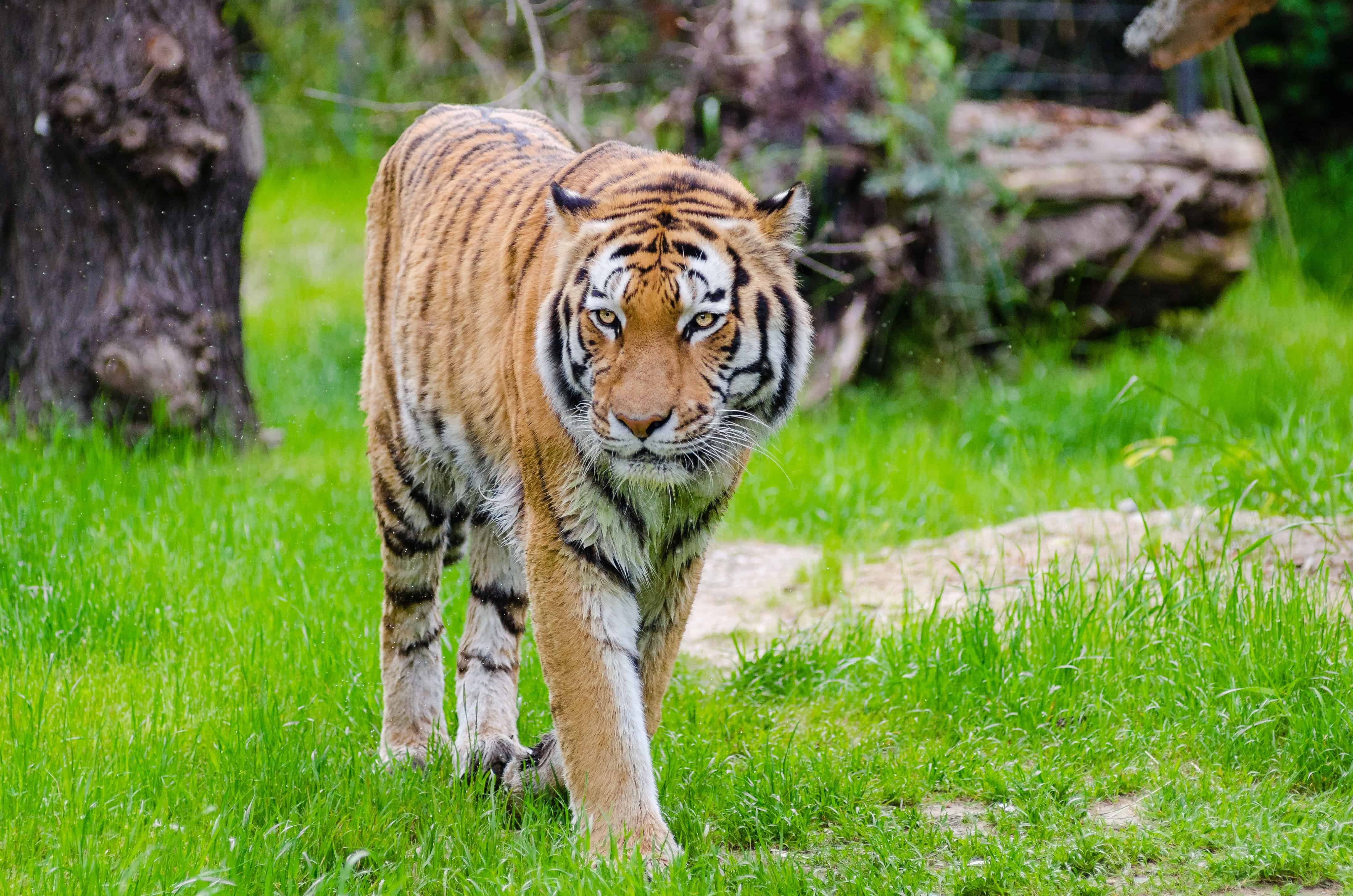 What are some interesting facts about Bengal Tigers