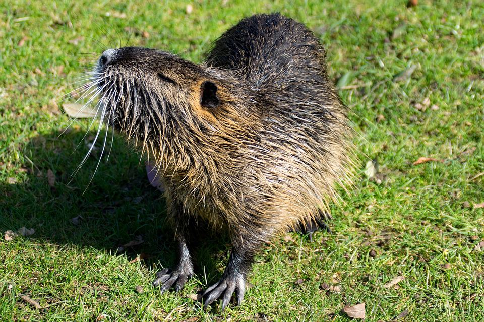 What are some interesting facts about Muskrats?