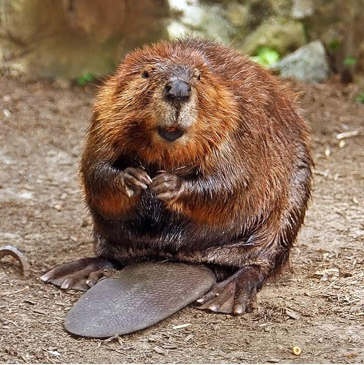 What are the interesting facts about Beaver?