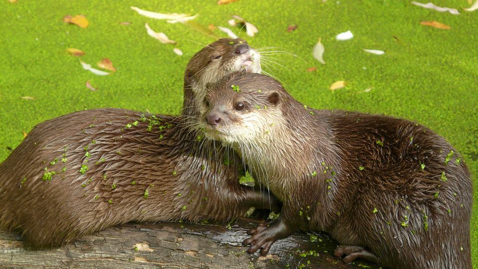 What are the interesting facts about Otter?