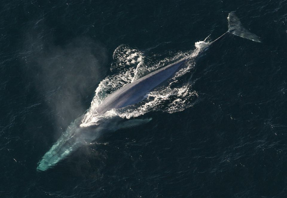 What are the interesting facts about the Blue Whale?