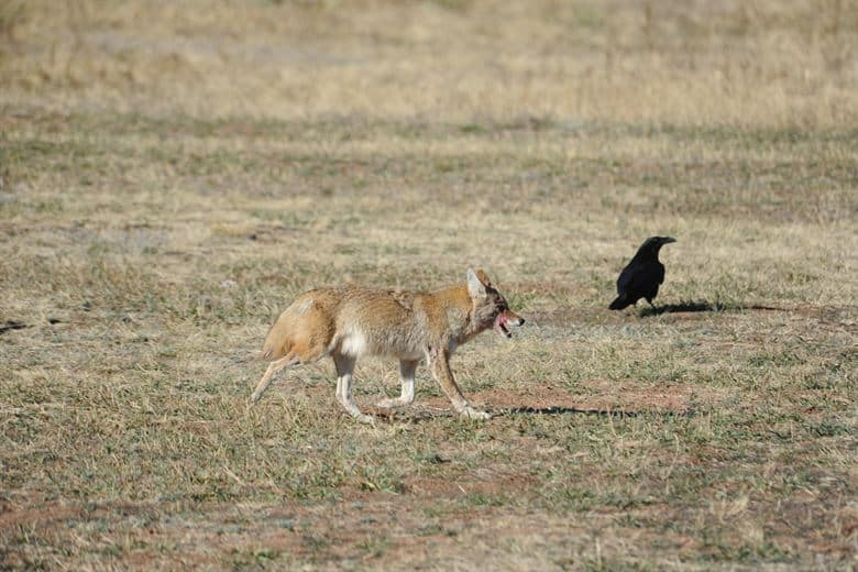What does Coyote eat?