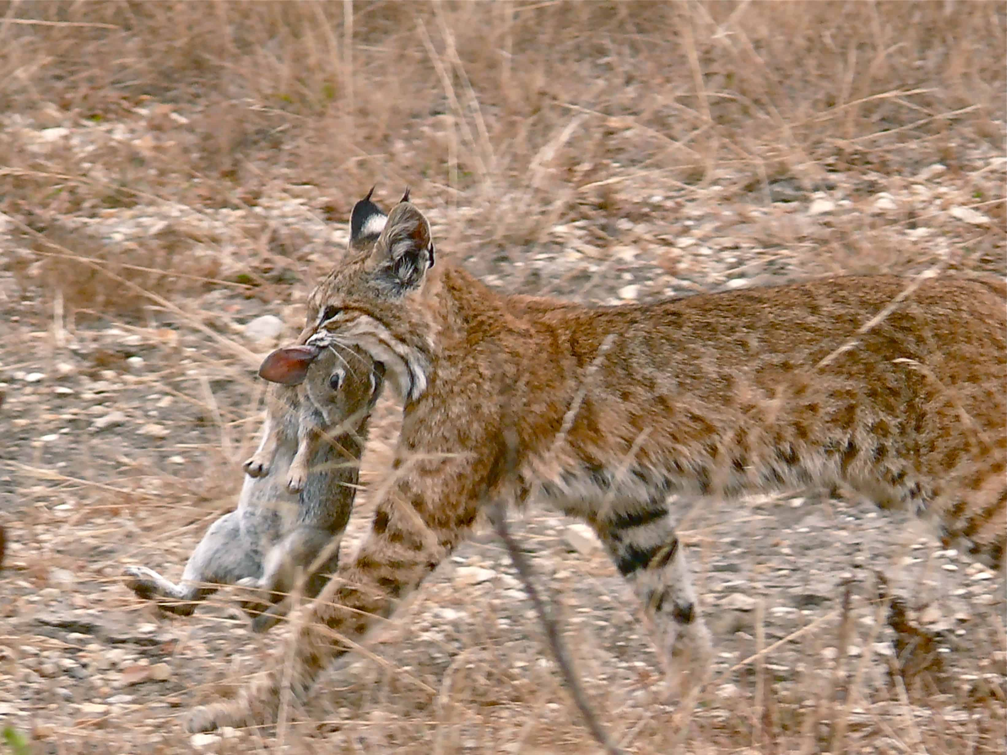 What does a Bobcat hunt?