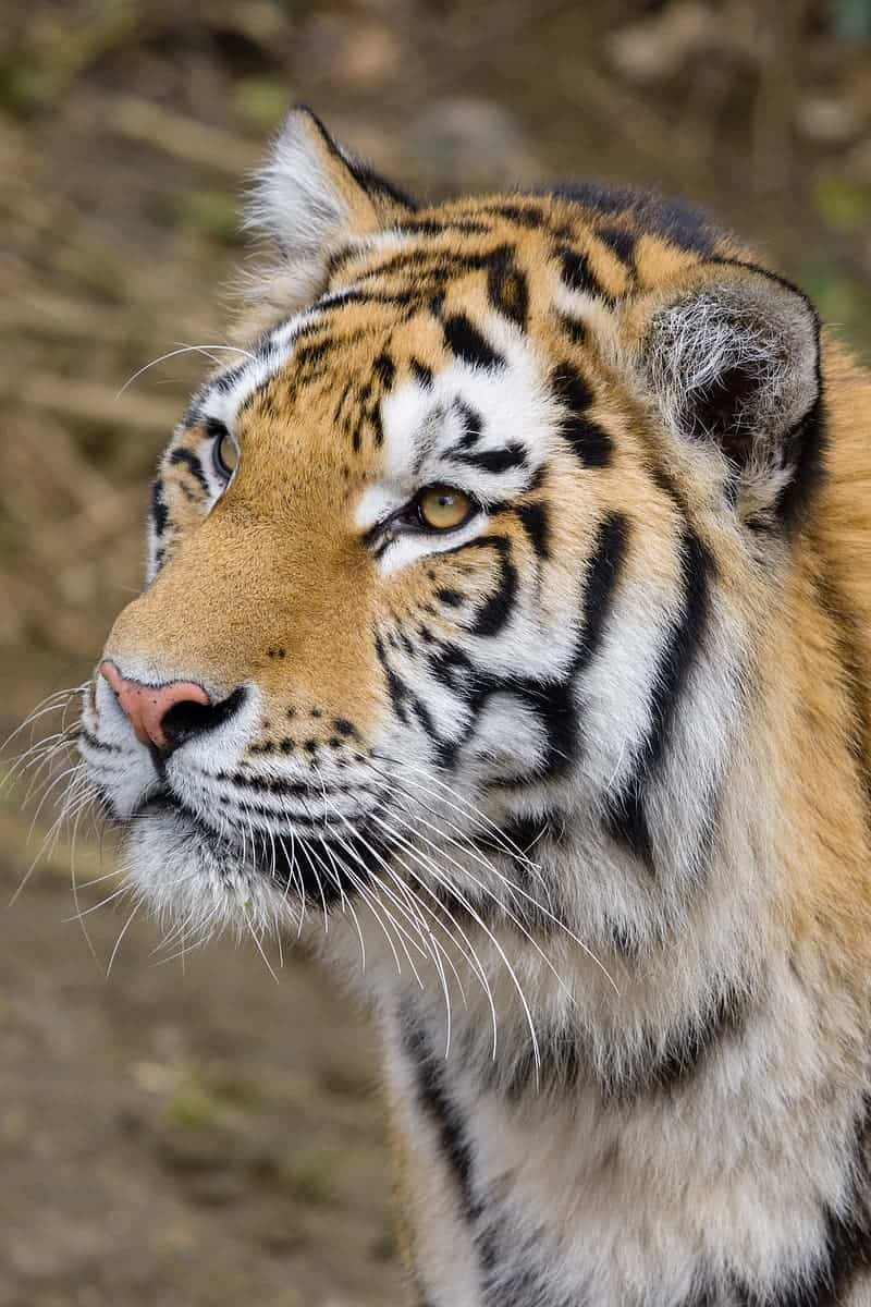 What does the coat of Siberian Tiger look like?