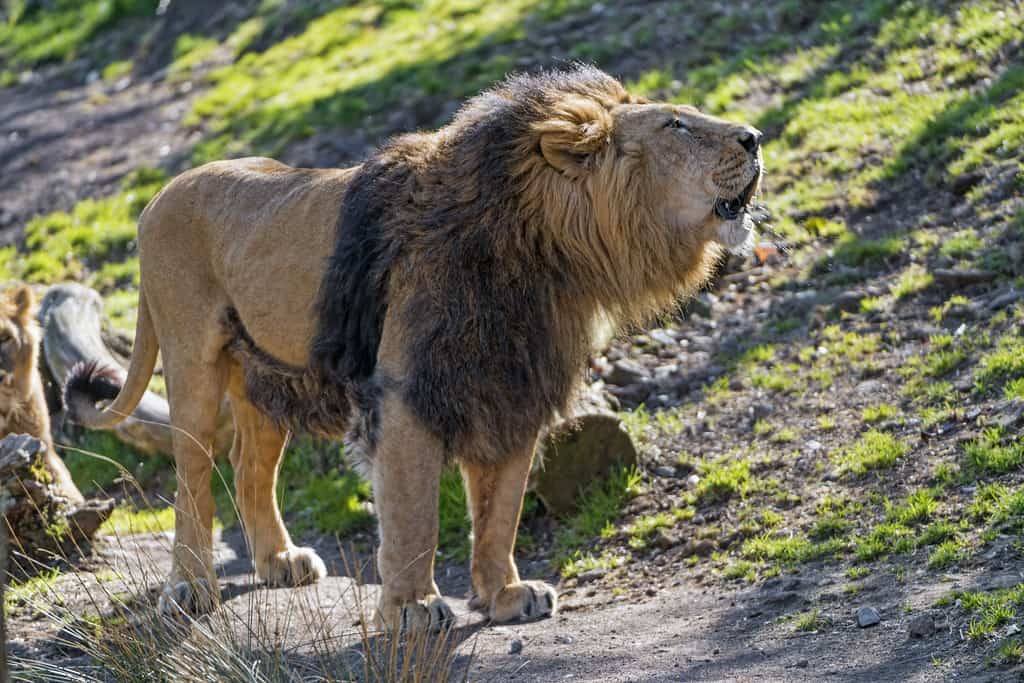 What is the size, length, weight of an Asian Lion?