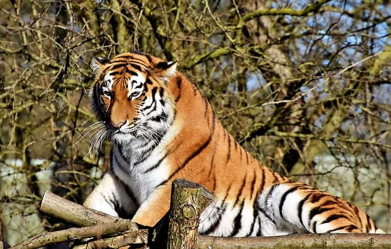 What weather do Bengal tigers prefer?