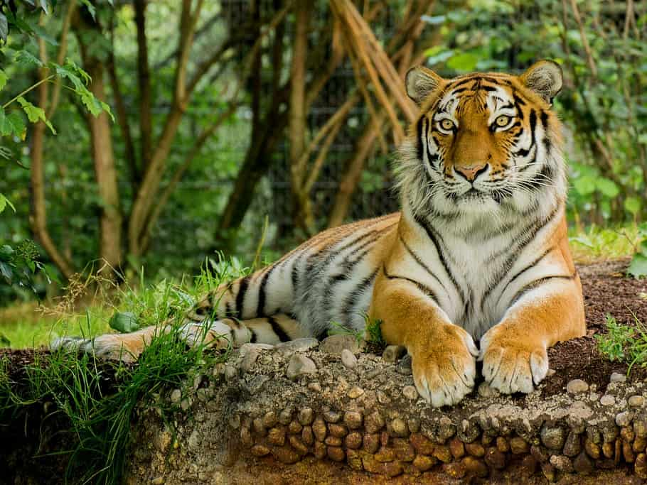 Where are Bengal Tigers found?