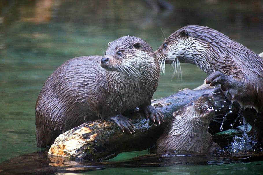 Where are Otters found?
