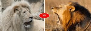 Asiatic lion vs African lion
