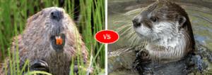 Beaver vs Otter