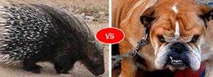 porcupine vs dog