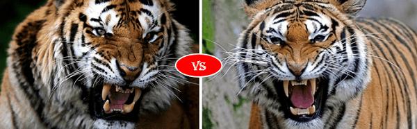 siberian tiger vs bengal Tiger