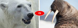 walrus vs polar bear