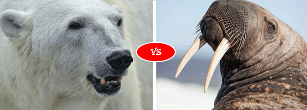 walrus vs polar bear