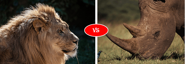 white rhino vs african lion