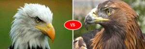 Bald eagle vs Golden eagle