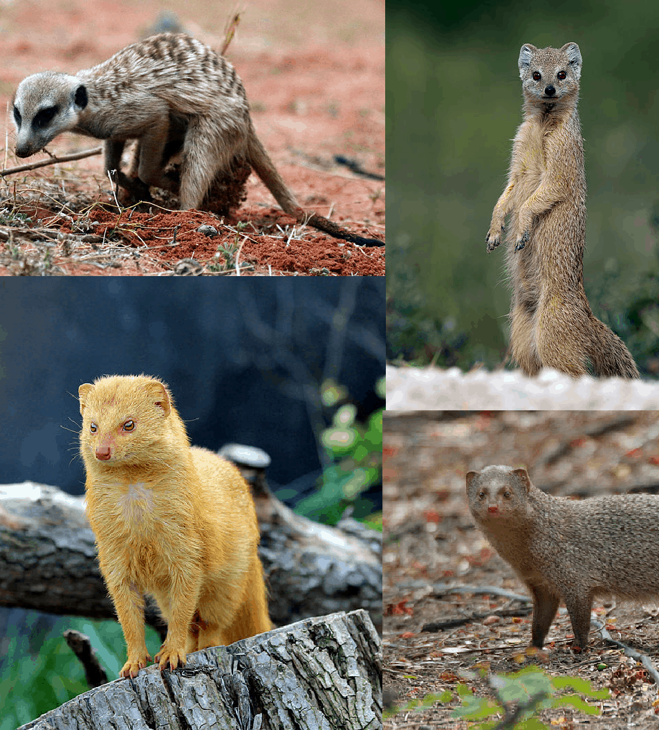 How many species of Mongoose are there?