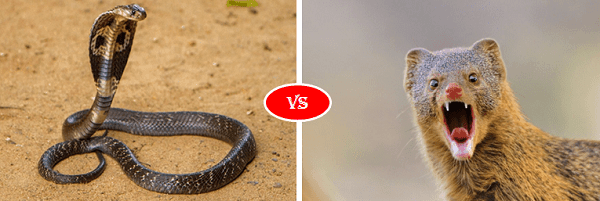 Mongoose vs king cobra snake