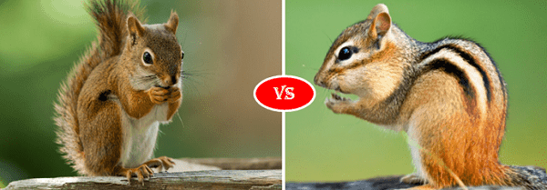 Squirrel vs Chipmunk