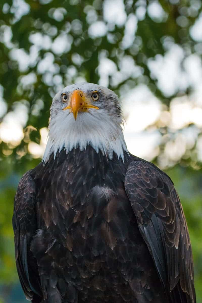What are some interesting facts about Bald Eagle?