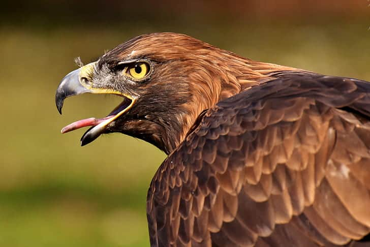 What are the interesting facts about Golden Eagle?
