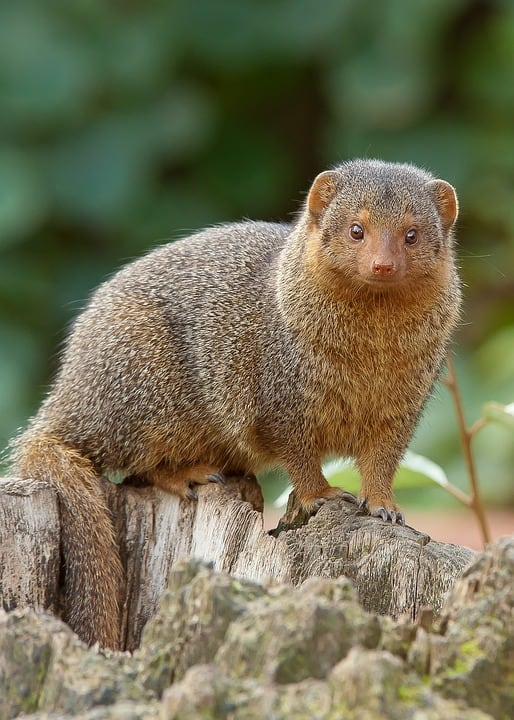 What are the interesting facts about Mongoose?