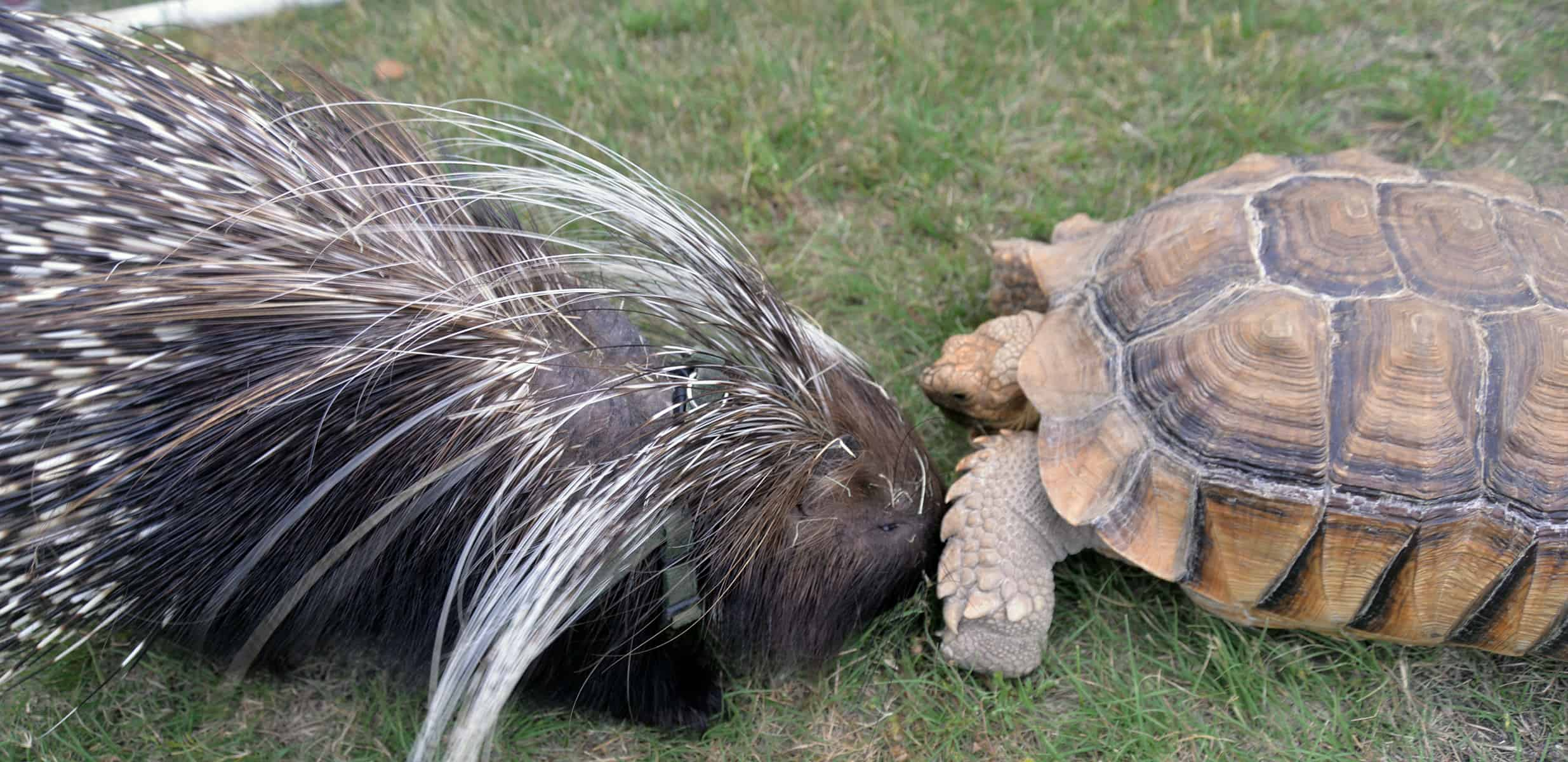 What happens when Porcupine is attacked?