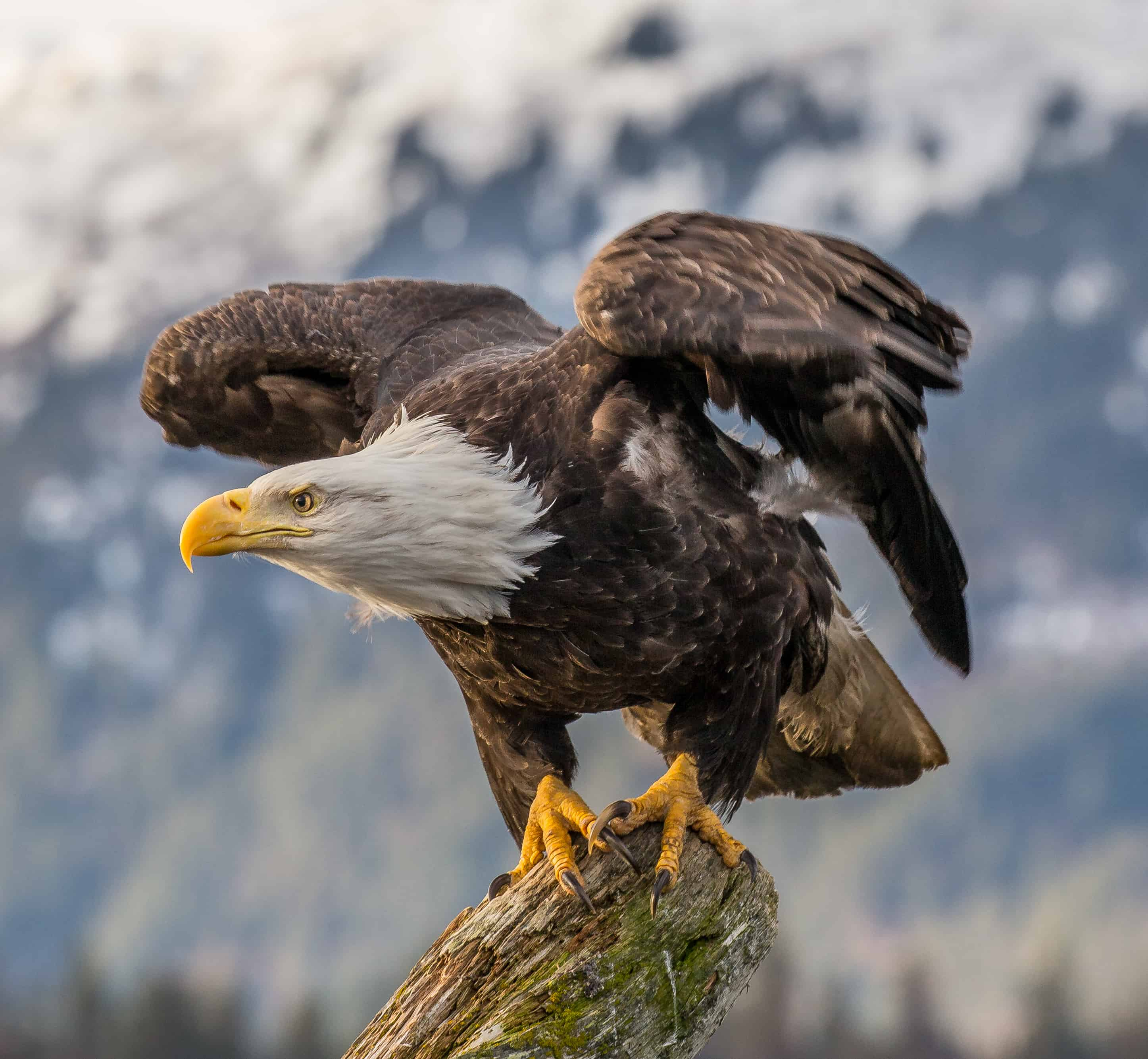 What is the size of a Bald Eagle?