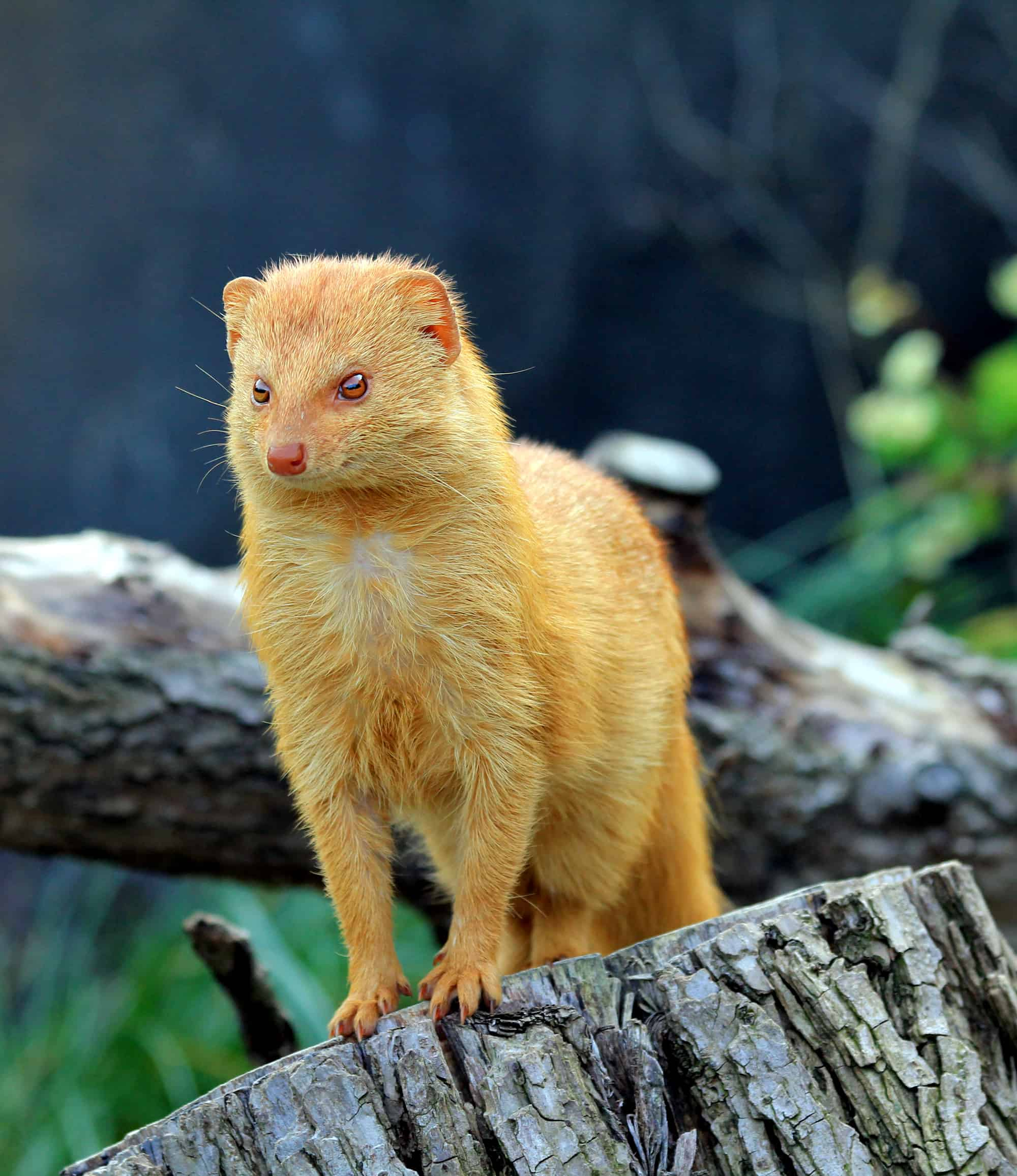 What is the size of a mongoose?