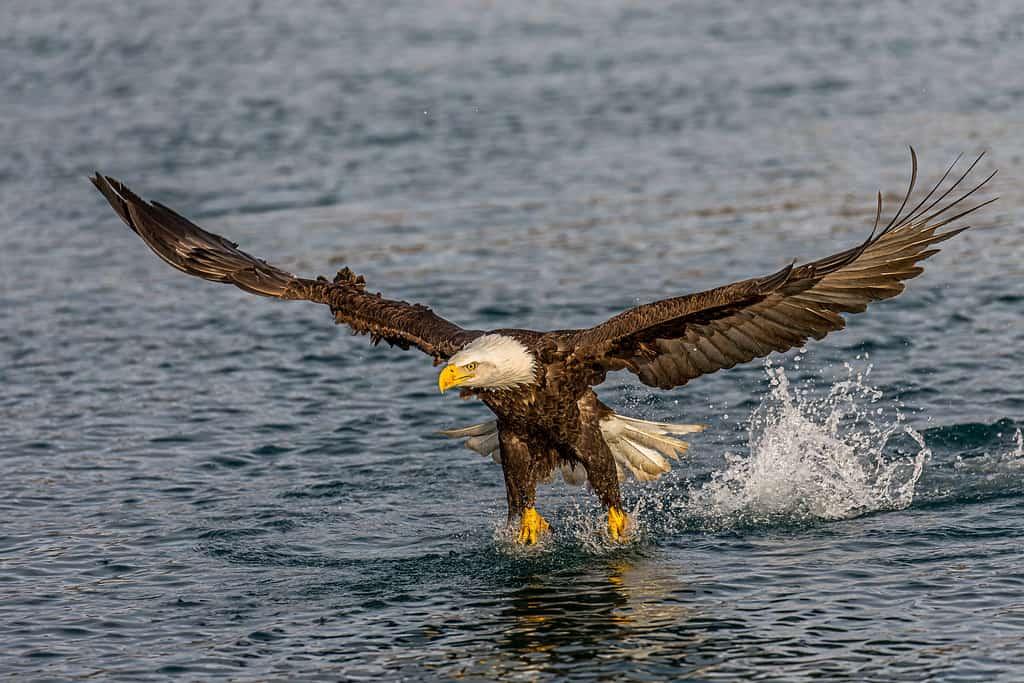 Where are Bald Eagles found?