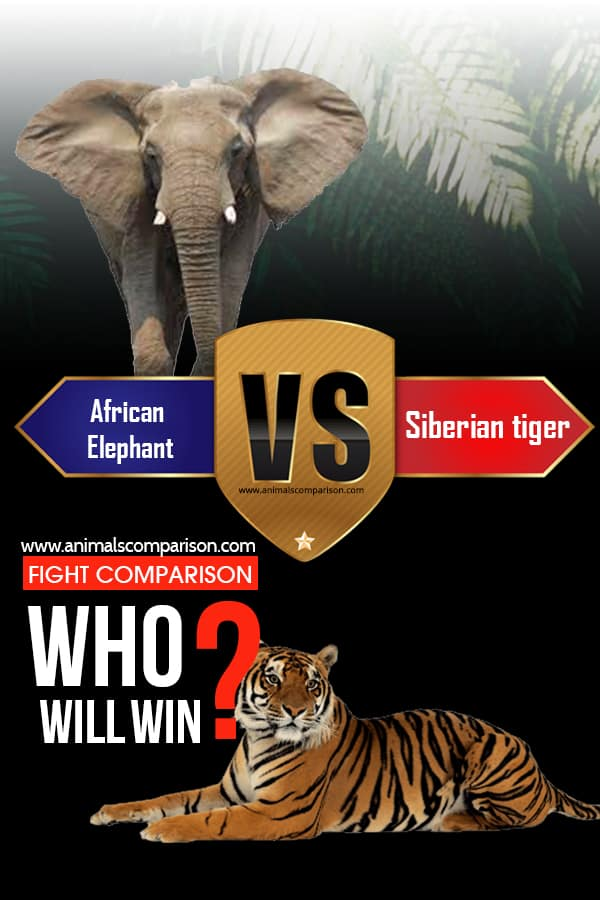 African elephant vs. Siberian tiger