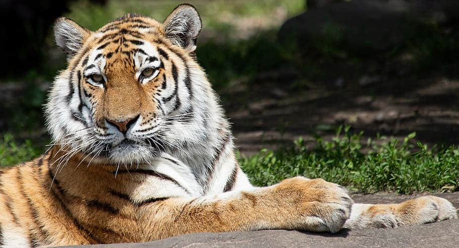 Do Siberian tigers have same striped patterns?