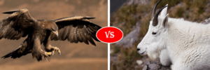 Mountain Goat vs eagle