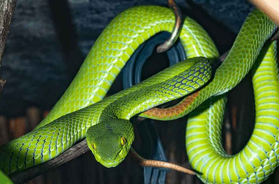 Green mamba vs Black Mamba comparison and difference