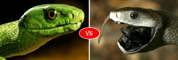 Green mamba vs black Mamba