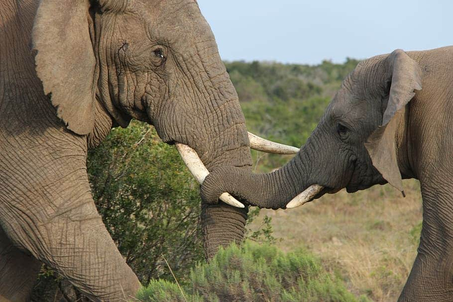 How Does Elephant defend itself?