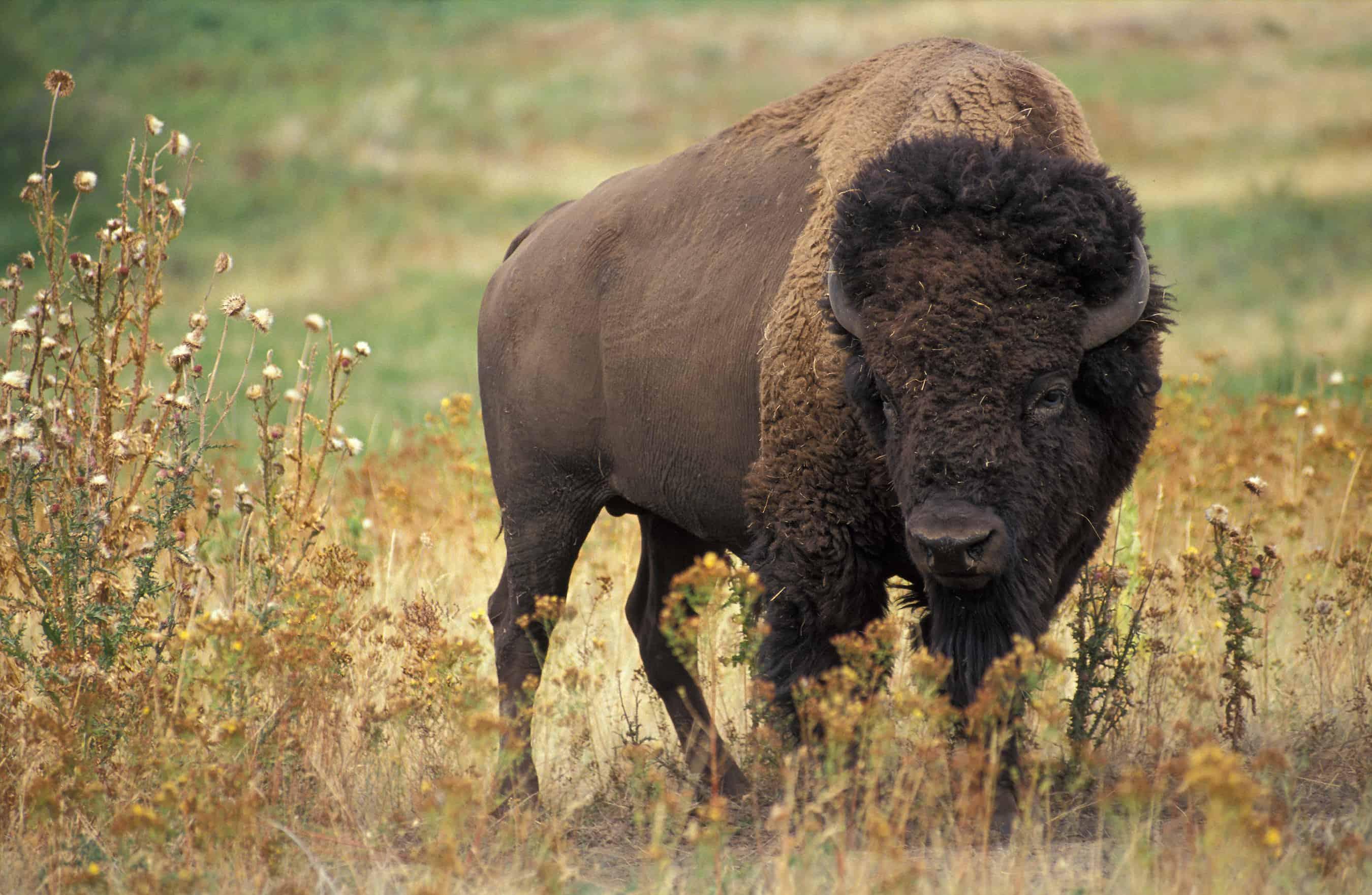 How big is a Bison?