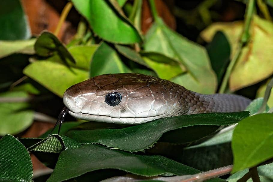 How much venom in a single bite of Black Mamba?