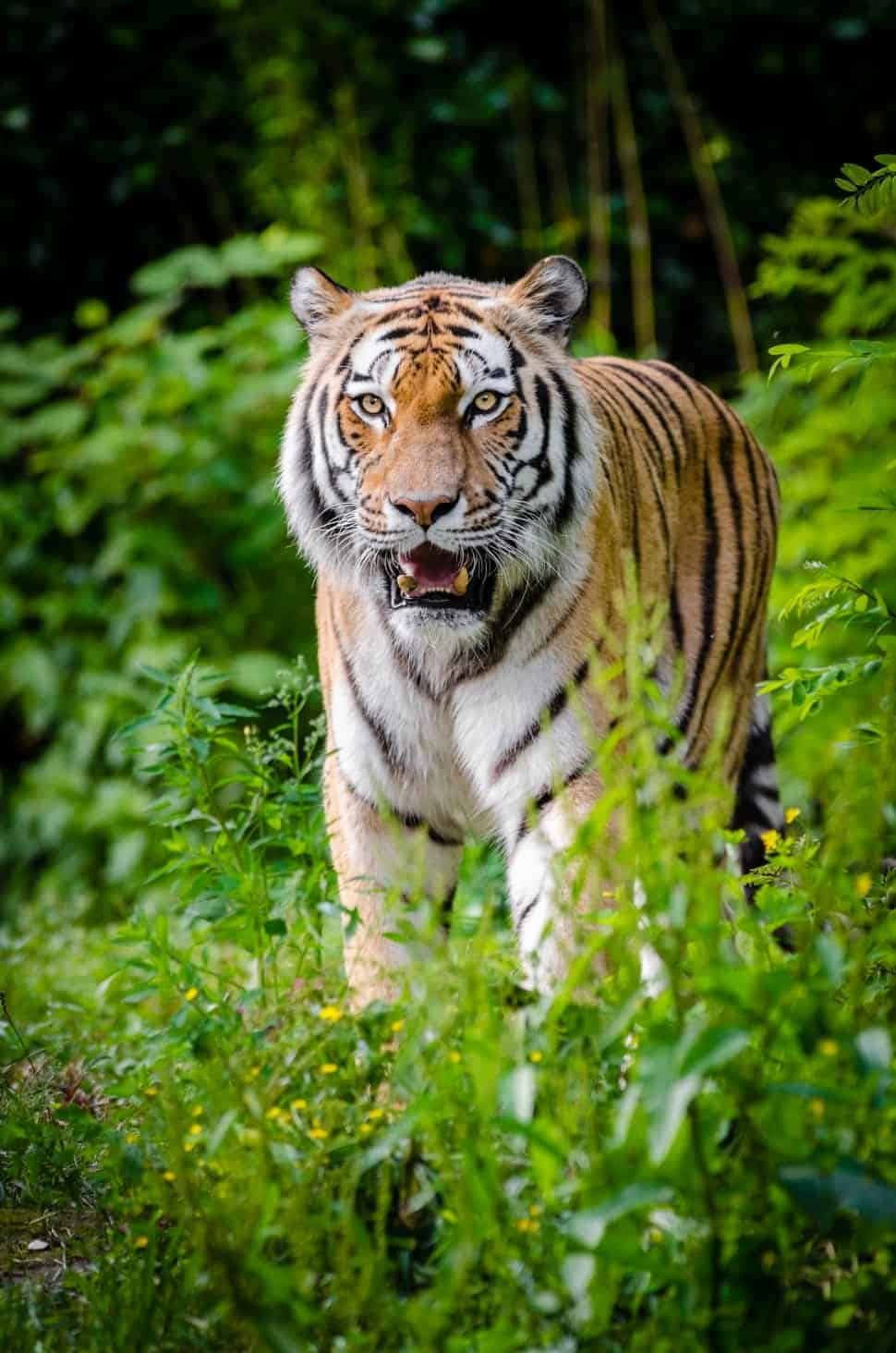 What is size, weight, length and tail of Siberian tiger?