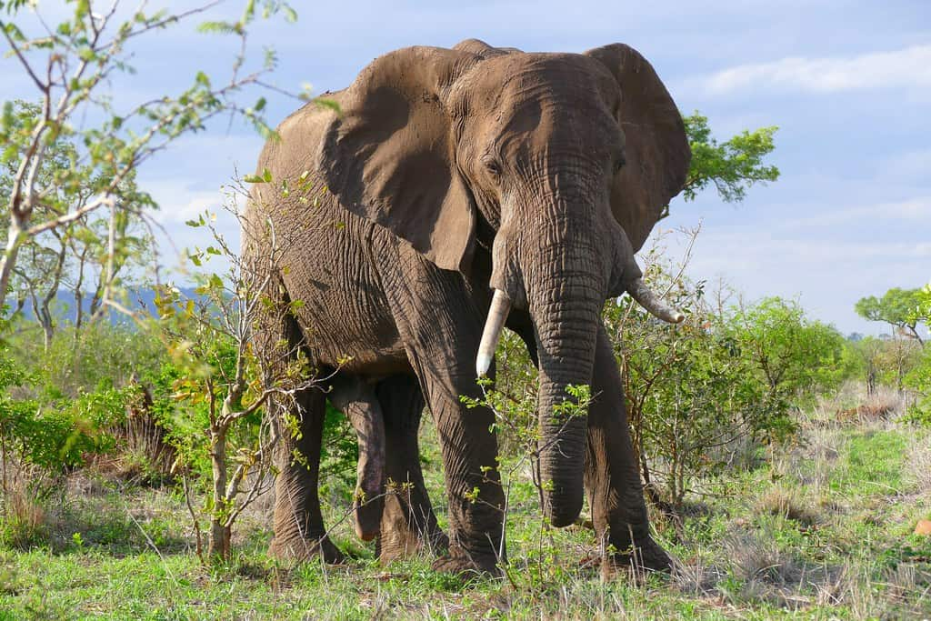 What is weight, size and height of African Elephant?