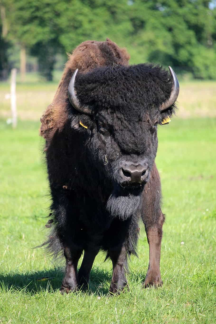 Where is Bison found?