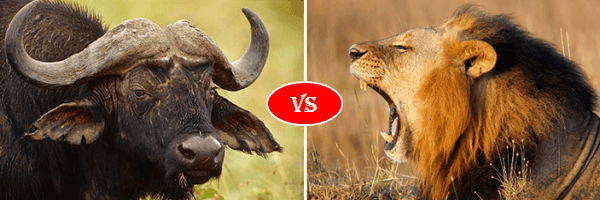 african buffalo vs african lion